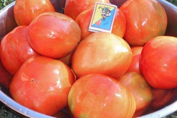 Голландский сорт (гибрид) томата «шеди леди f1»: описание, характеристика, посев на рассаду, подкормка, урожайность, фото, видео и самые распространенные болезни томатов