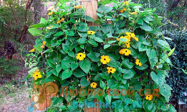 Тунбергия: выращивание из семян в саду