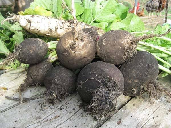 Редька маргеланская: описание сорта, особенности выращивания