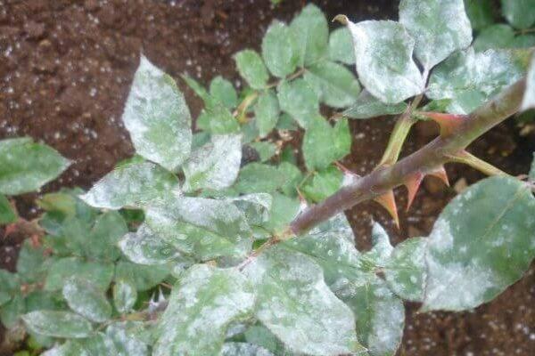 Мучнистая роса на розах – чем опасен белый налет на листьях, меры борьбы