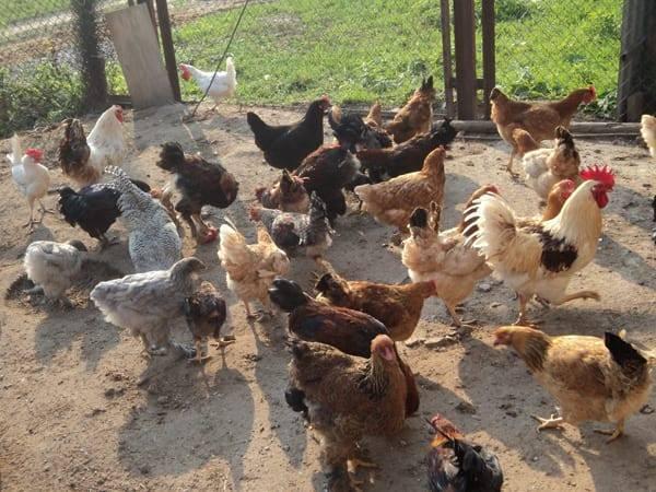 Допустимо ли содержать в одном помещении индюков и кур?