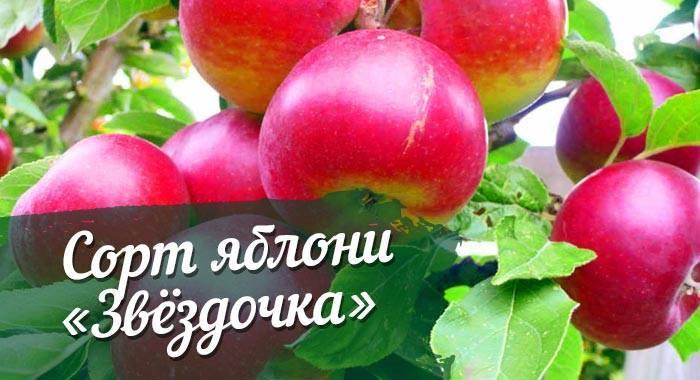 Яблоня звездочка: описание сорта, преимущества и недостатки, характеристика плодов, особенности посадки и ухода, сбор и хранение урожая