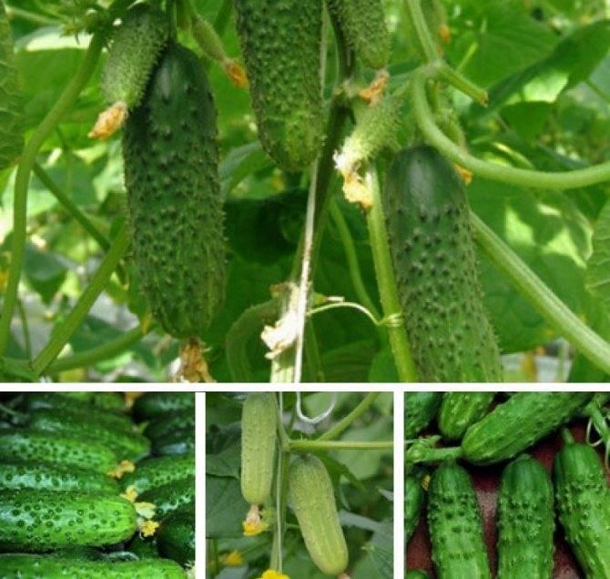 Особенности выращивания сорта огурцов «клодин f1» и уход до сбора урожая
