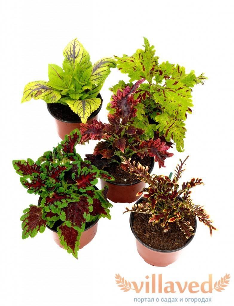 Выращивание колеуса в саду и домашних условиях как посадить семенами и черенками фото видов