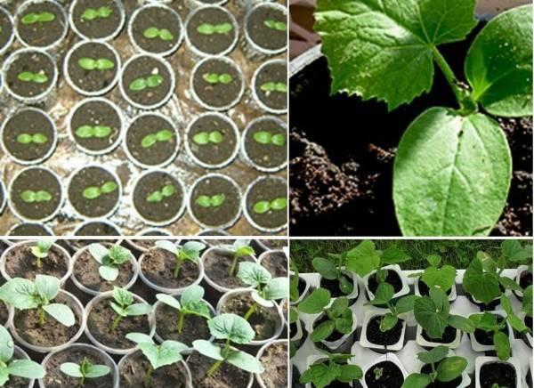 Как правильно выращивать рассаду огурцов в домашних условиях