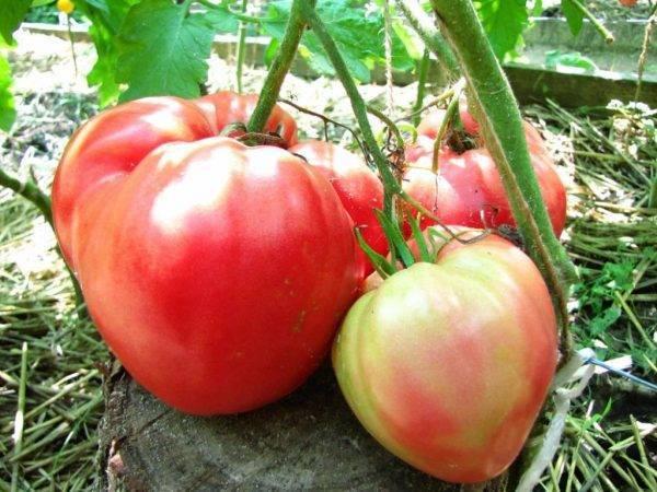 Сорта томатов: розовый мед