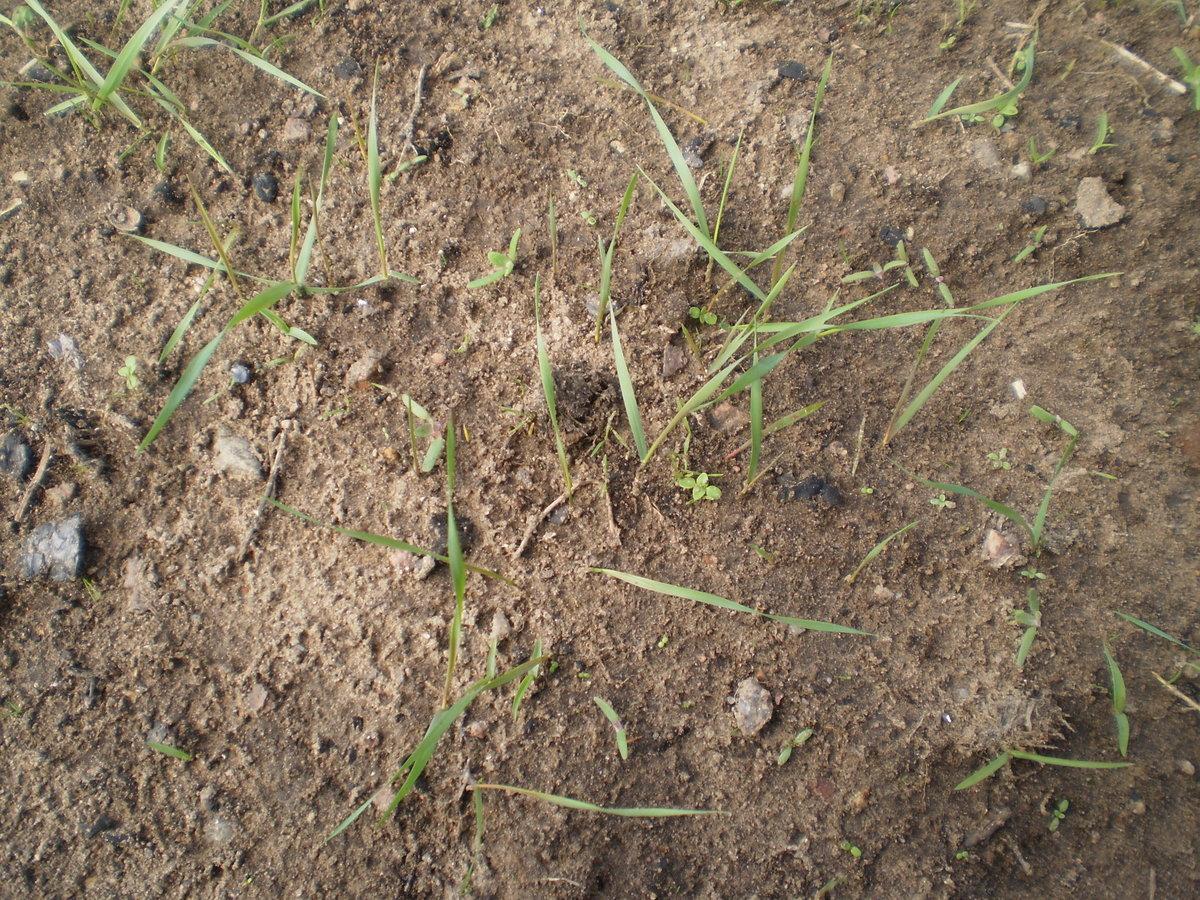 5 этапов обработки моркови керосином. избавляемся от сорняков