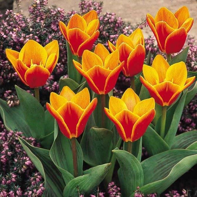 Как размножаются тюльпаны и какой способ выбрать