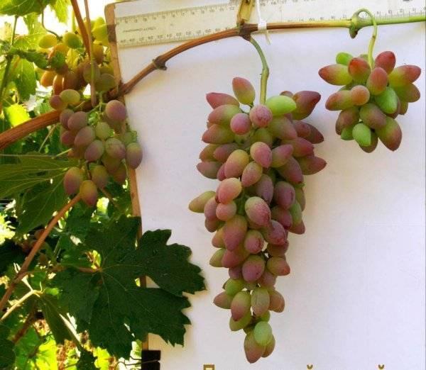 Сорт винограда тимур