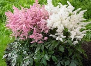 Цветок астильба: описание сортов, посадка и уход