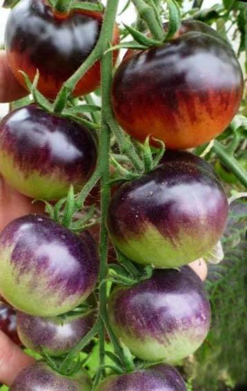 Особенности томата черника