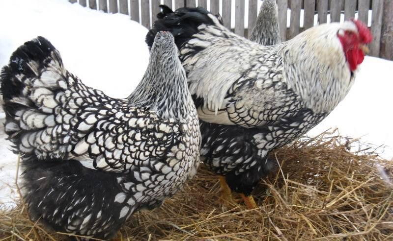 Виандот порода кур: описание