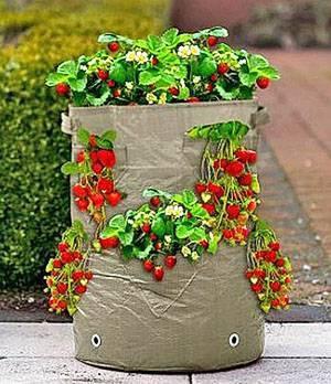 Выращивание клубники в мешках в домашних условиях и в открытом грунте