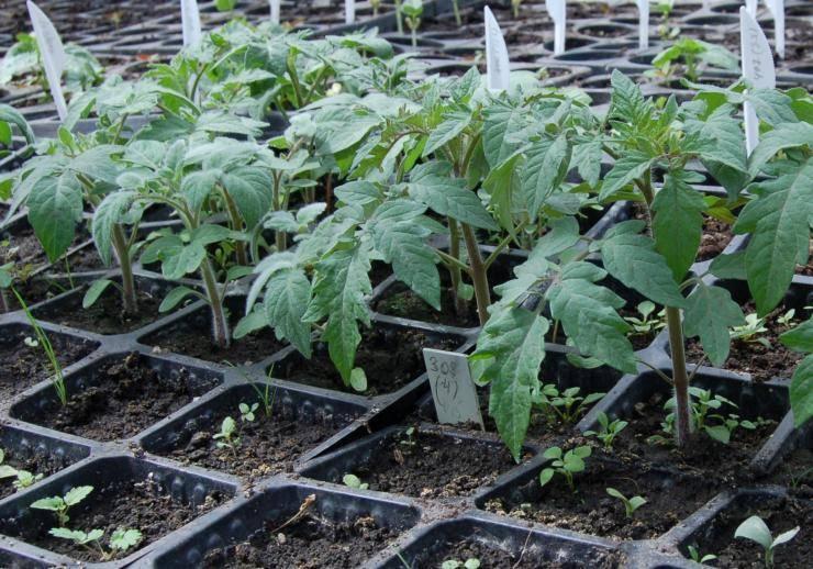Как можно проверить и определить всхожесть семян помидоров