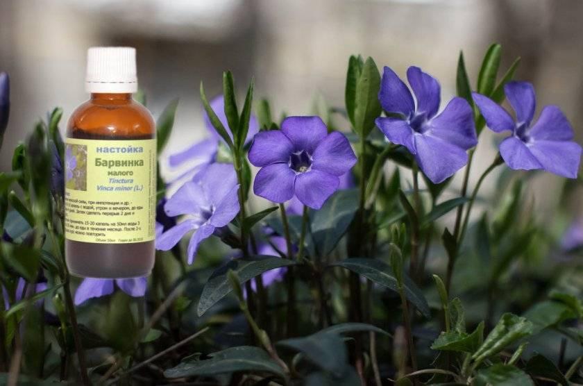 Барвинок: лечебные свойства и противопоказания, применение в народной медицине