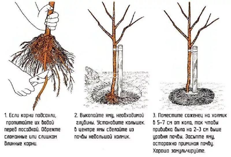 Когда лучше пересаживать вишню на другое место — весной или осенью?