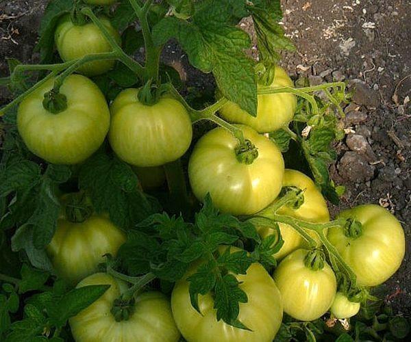 Крепыш из голландии — описание характеристик замечательного сорта томата «бобкат»