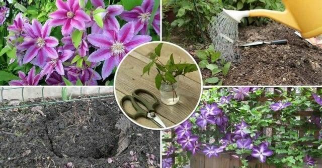 Выращивание клематисов в открытом грунте: посадка и уход