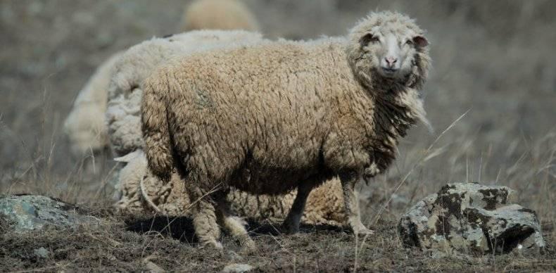 Какие болезни овец существуют