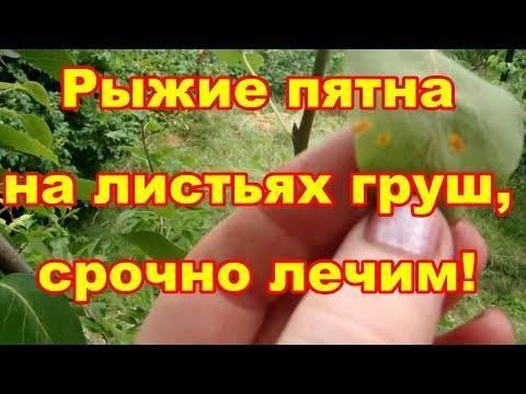 Болезни груши — оранжевые пятна на листьях, чем лечить ржавчину, как обработать и как избавиться