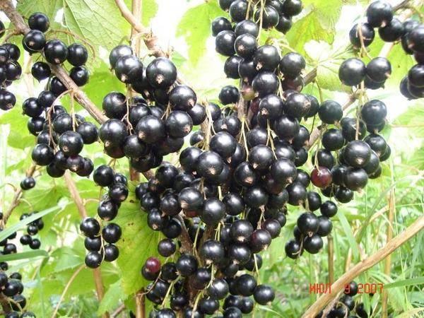 Сорт чёрной смородины багира – обильные урожаи вкусных ягод