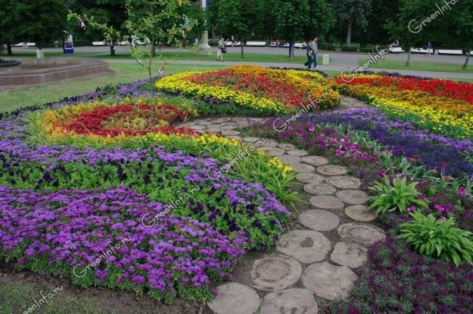 Выращивание цветка агератум в домашних условиях