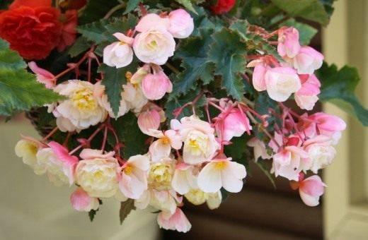 Как ухаживать за бегониями:корневые, клубневые, гибридные цветки