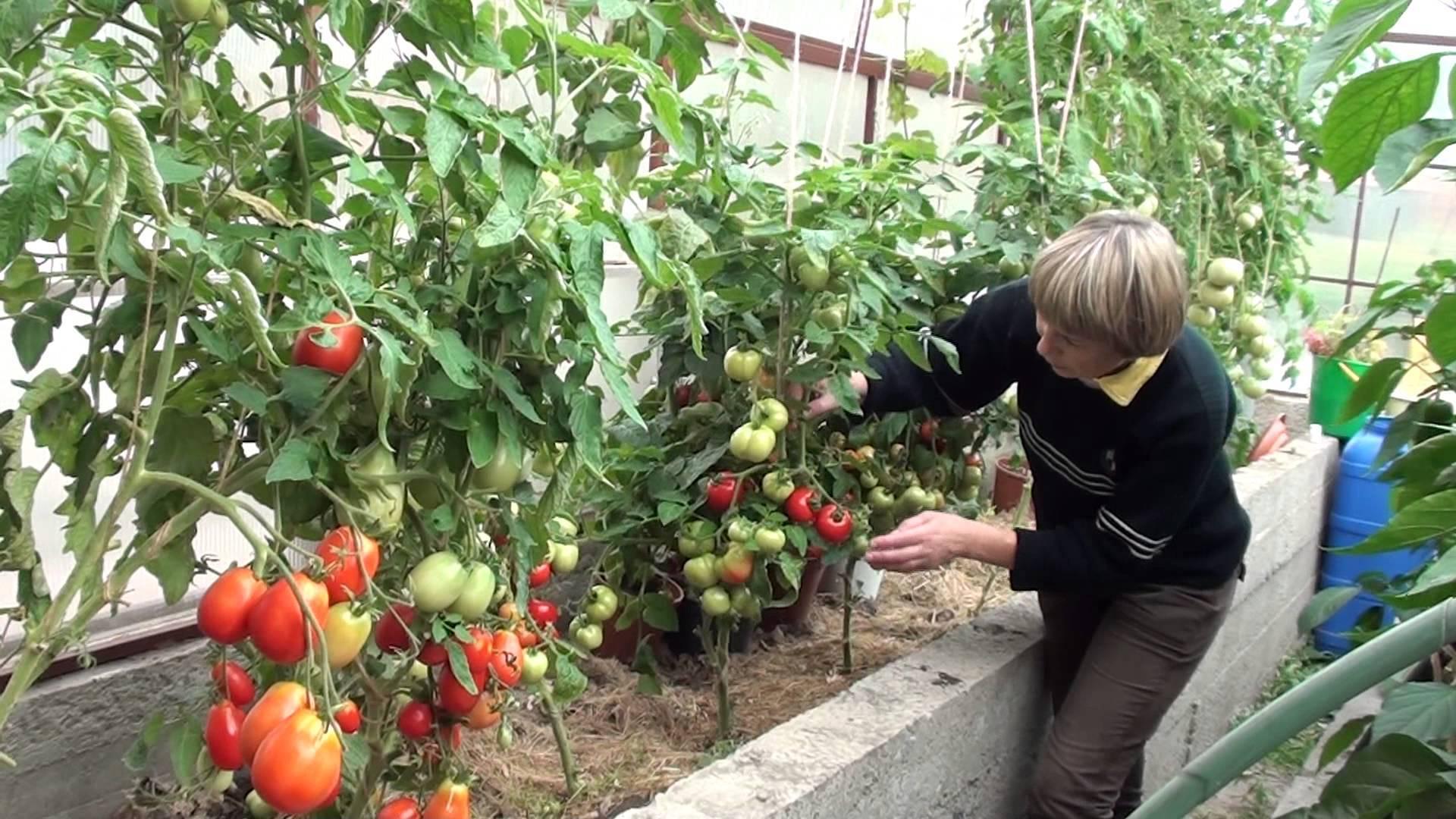 Особенности китайского метода выращивания саженцев помидор