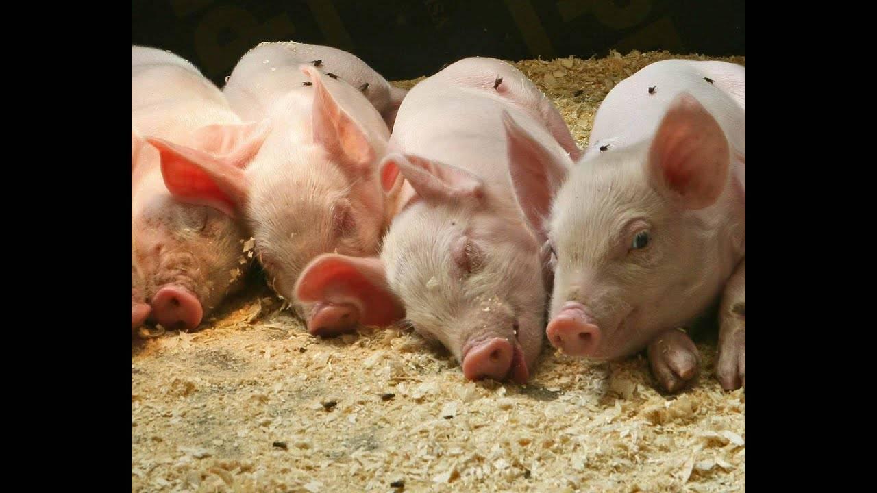 Свинарник на 100 голов. чертеж, проект, схема с фото и видео