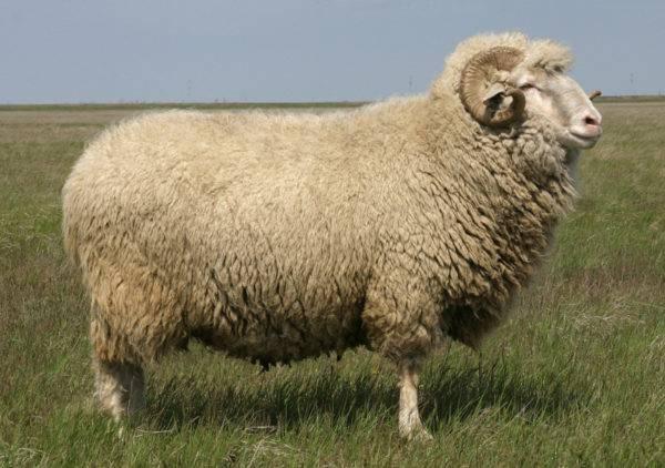 Порода овец шевиот