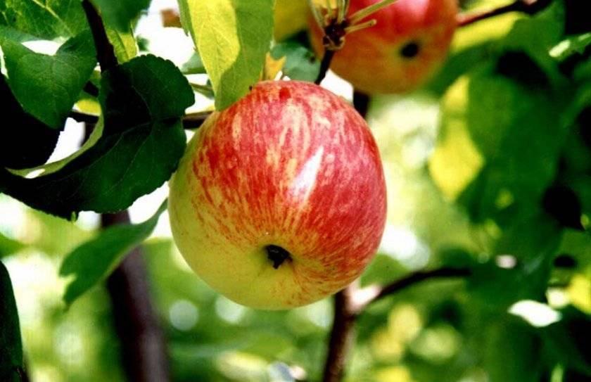 Яблоня конфетное: полная информация. посадка, уход
