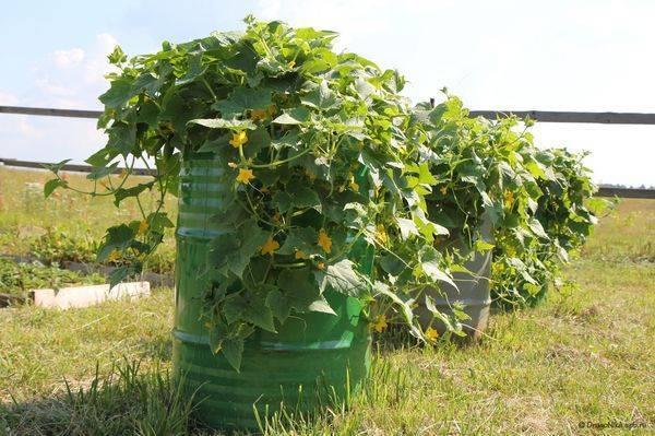 Выгодный способ выращивания огурцов с использованием 5-литровых бутылок