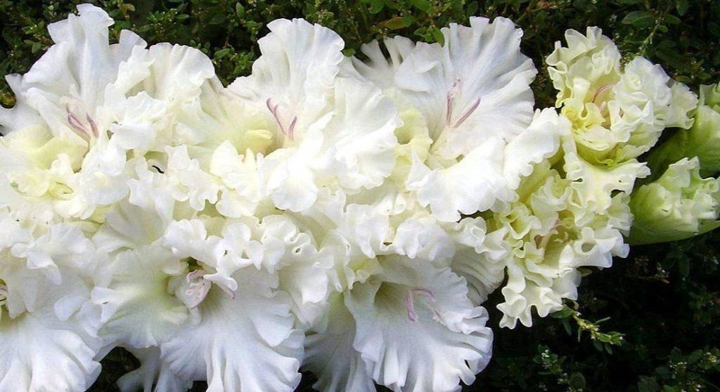 Популярные сорта и виды гладиолусов: фото и описание