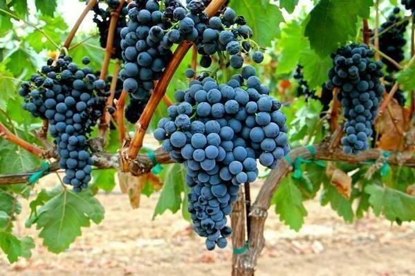 Виноград румба: особенности сорта и условия для выращивания