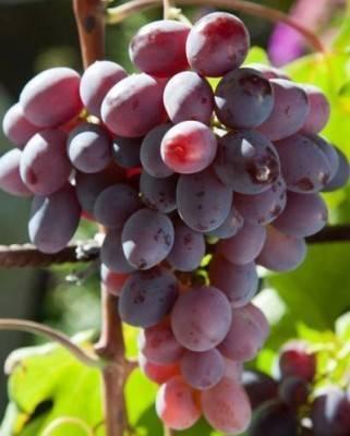 Сорт винограда низина