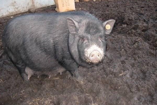 Порода свиней кармалы: описание, особенности содержания и ухода