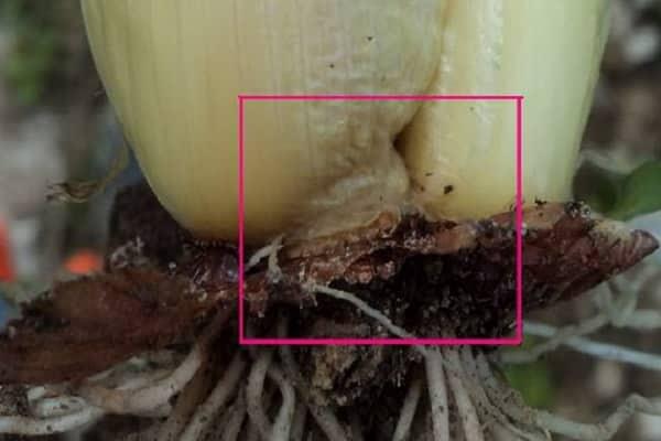 Почему желтеет лук на грядке и что с этим делать