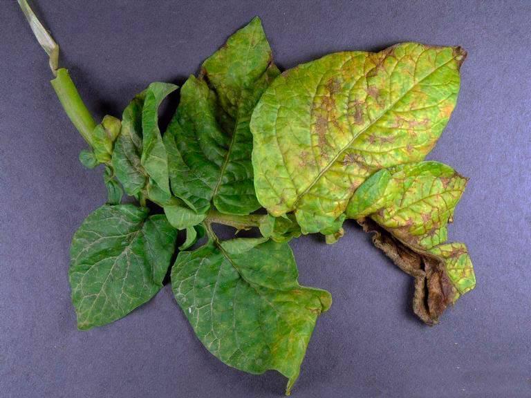 Почему у картофеля желтеют листья раньше времени