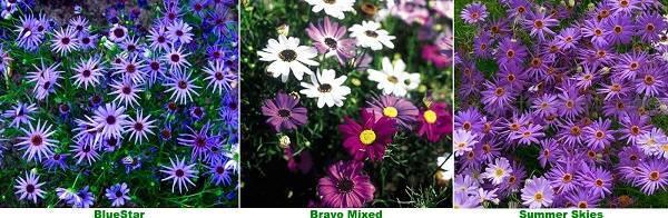 Брахикома — секреты и правила выращивания на садовом участке