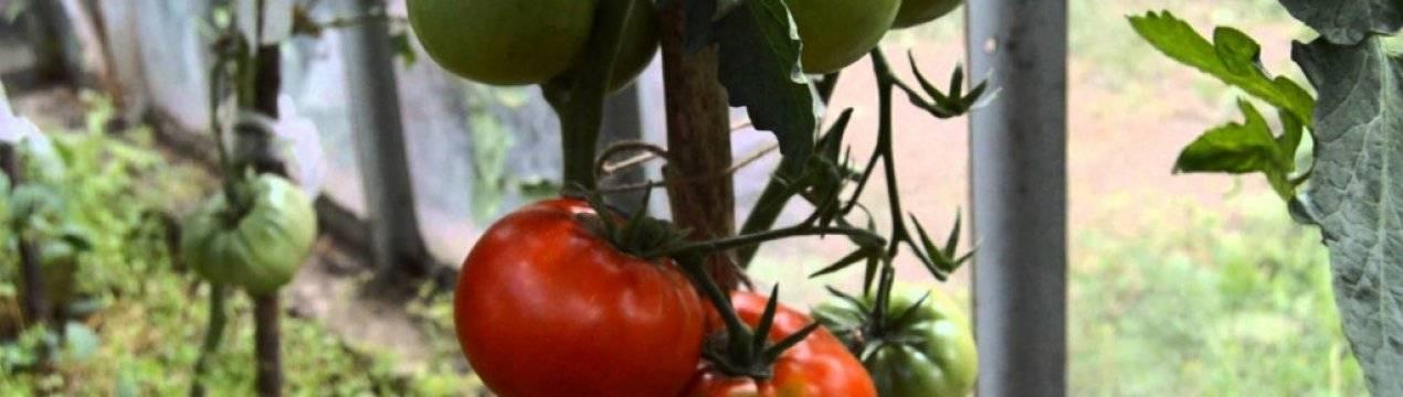 Томат вечный зов — описание сорта, урожайность, фото и отзывы садоводов
