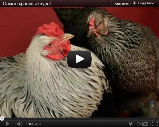 Курицы породы брама: гиганты из курятника