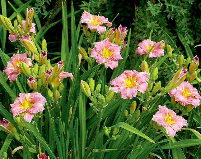 Разнообразие сортов лилейников – фото, названия и описания