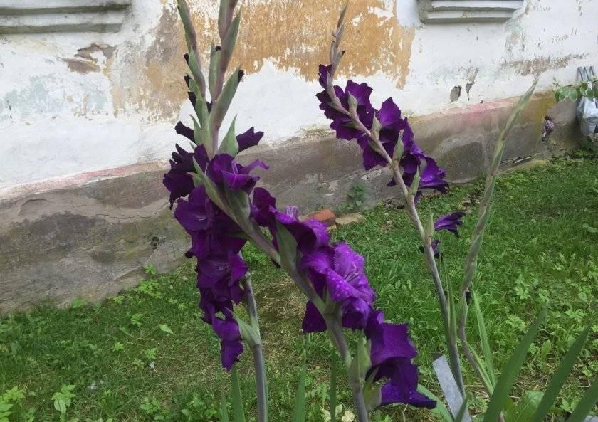 Болезни гладиолусов — борьба с вредителями