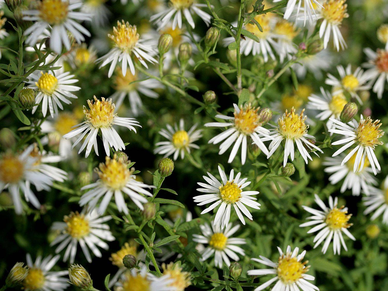 Цветок астра: посадка и уход в открытом грунте, фото, выращивание из семян, виды и сорта