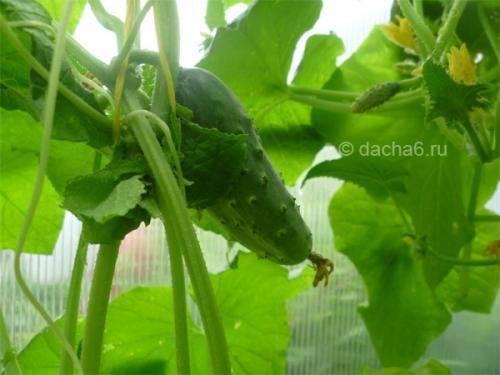 Выращивание огурцов на своем участке в открытом грунте