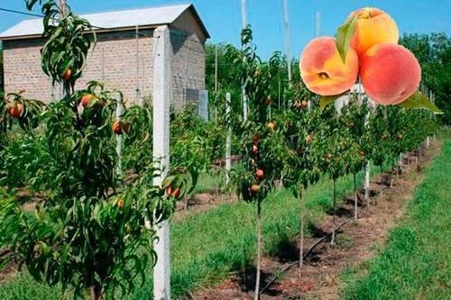 Как правильно выращивать колоновидную черешню: советы садоводов