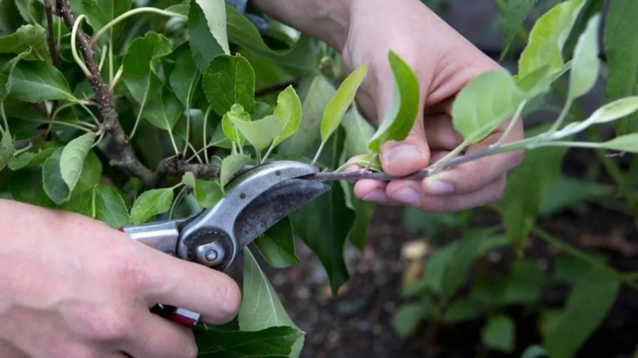 Лилейники — уход осенью и подготовка к зиме