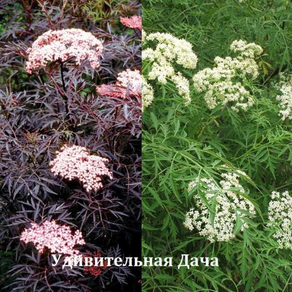 Растение бузина (sambucus): её описание и фото