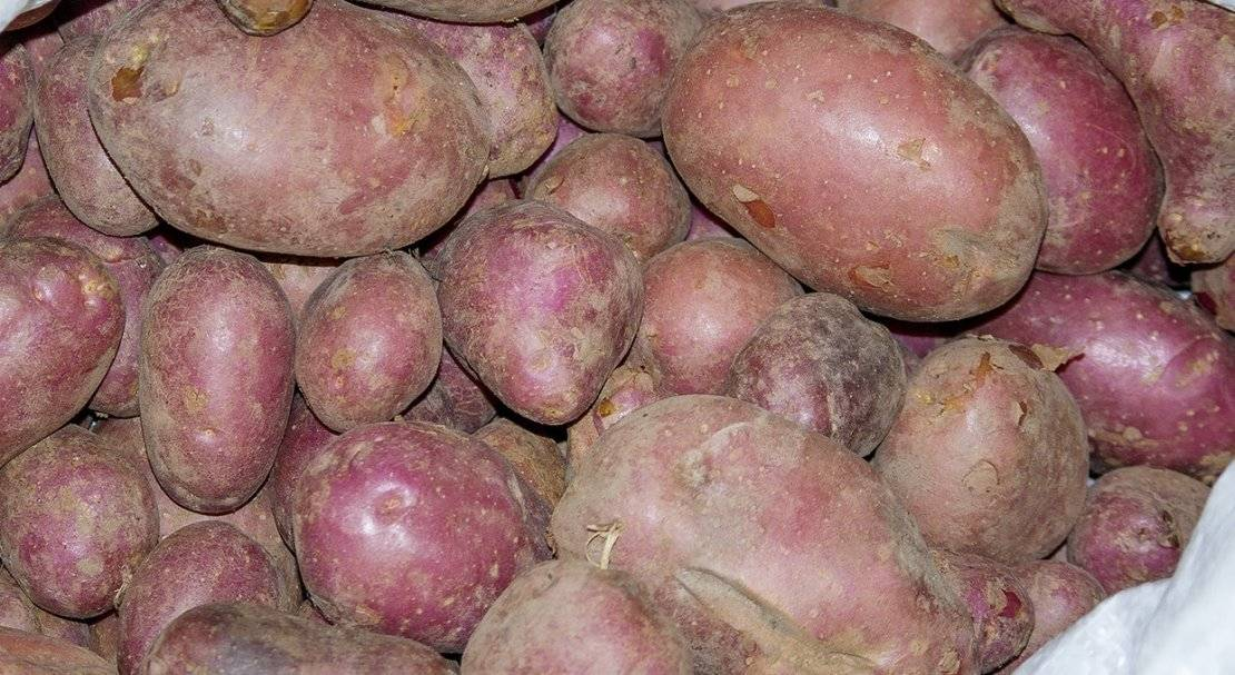 картофель сорта фото таблица кено узбик таржима