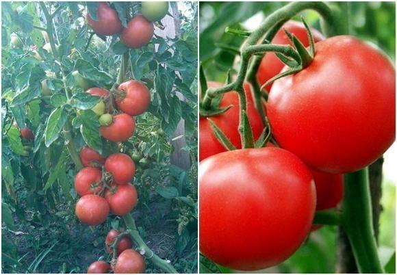 Характеристика и описание сорта томата Полбиг, его урожайность